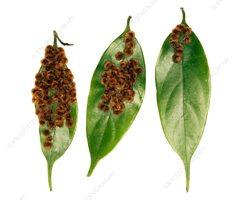 Rainforest leaf galls
