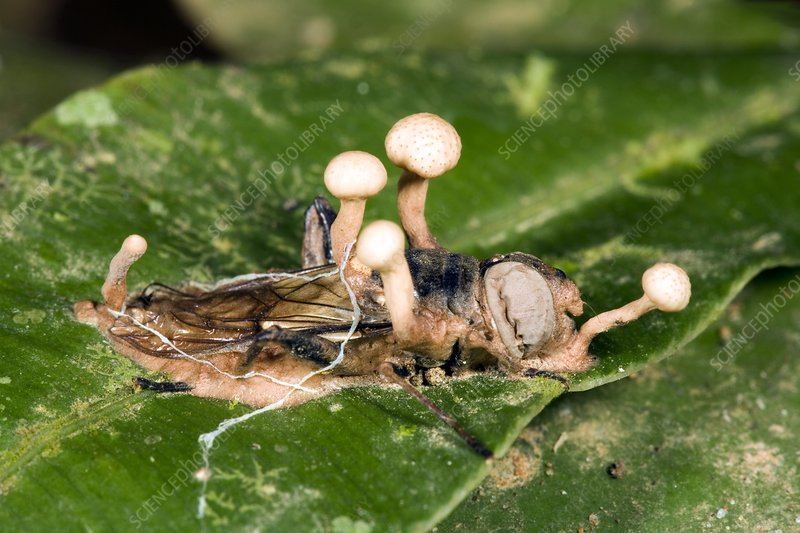 Cordyceps fungus on a large fly