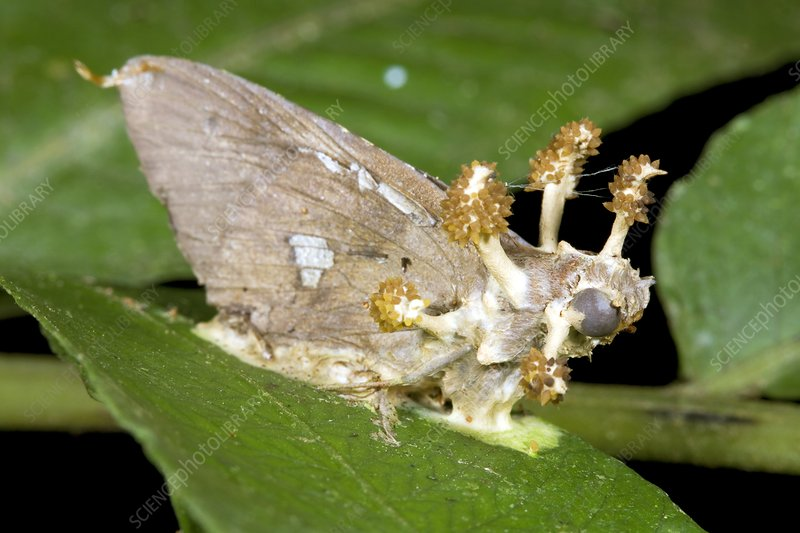 Cordyceps fungus on a moth