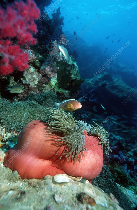Anemone with anemonefish
