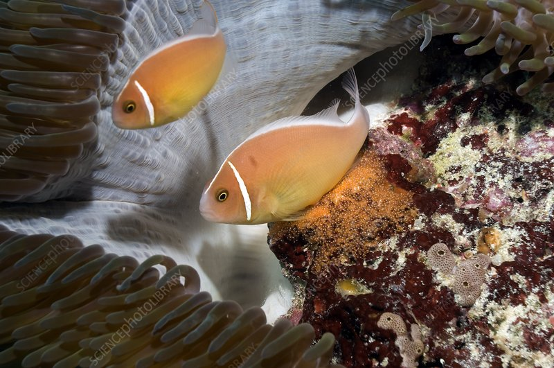 Anemonefish spawning eggs