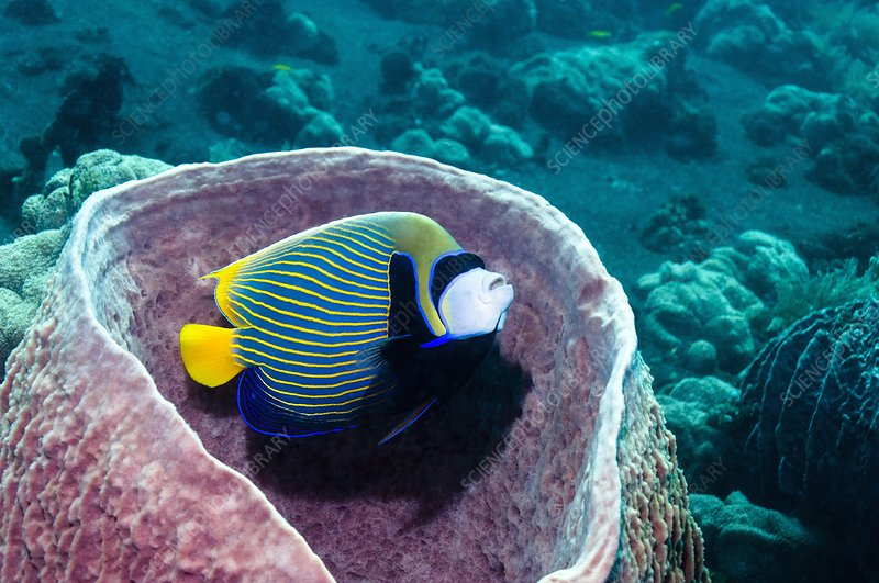 Emperor angelfish in sponge