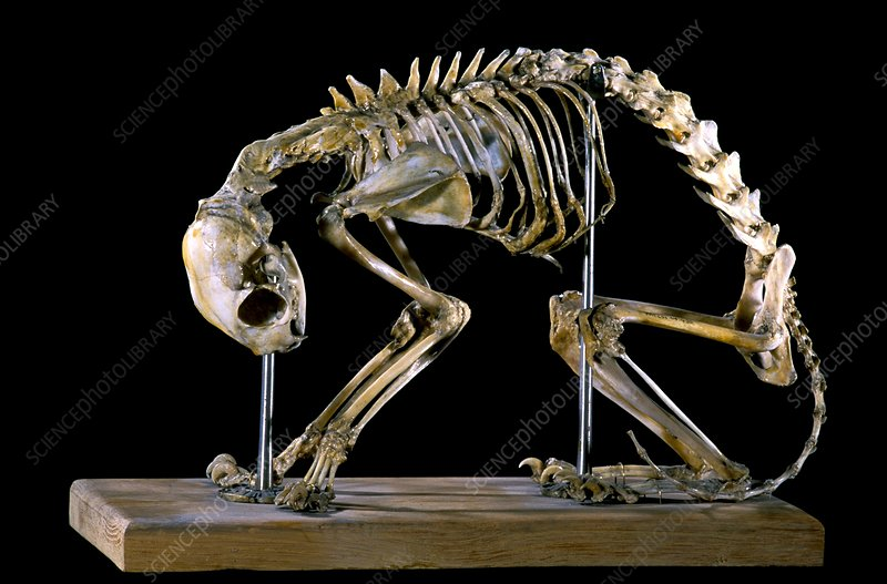 19th century deformed cat skeleton