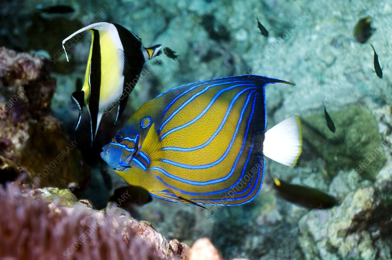 Bluering angelfish and moorish idol