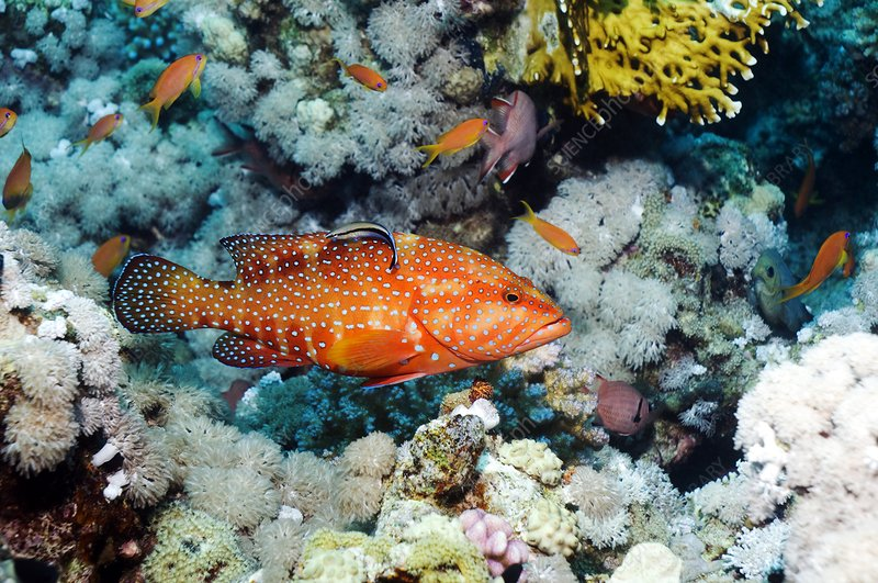 Coral hind and cleaner fish