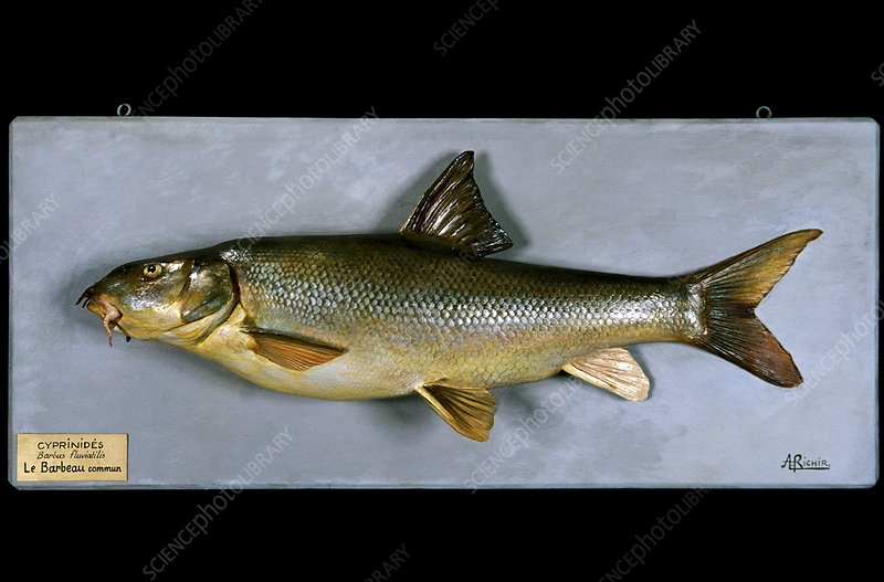 Historical model of a barbel