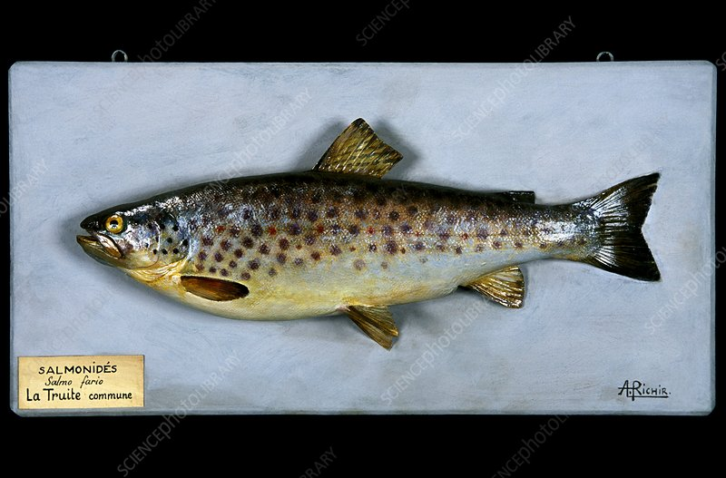 Historical model of a brown trout