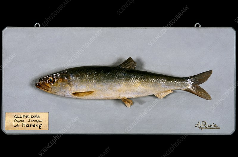 Historical model of a herring