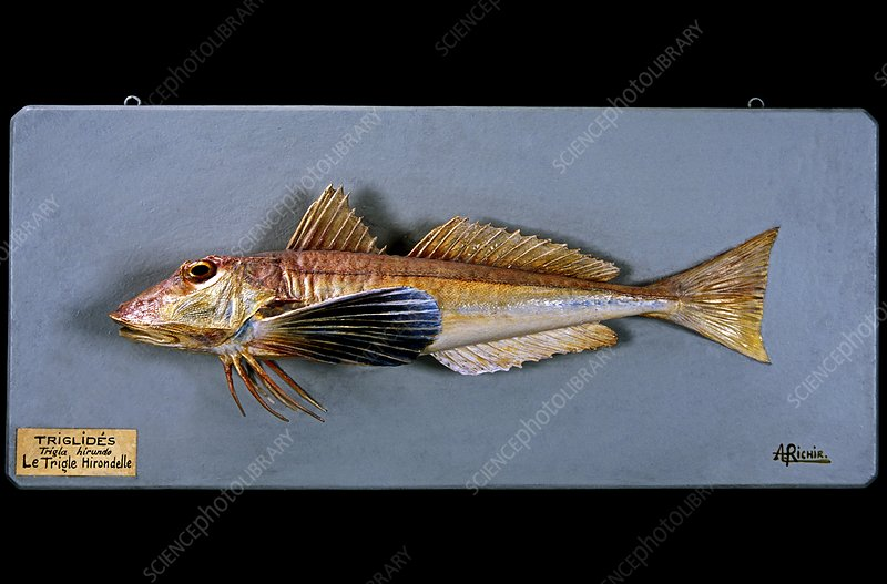 Historical model of a tub gurnard
