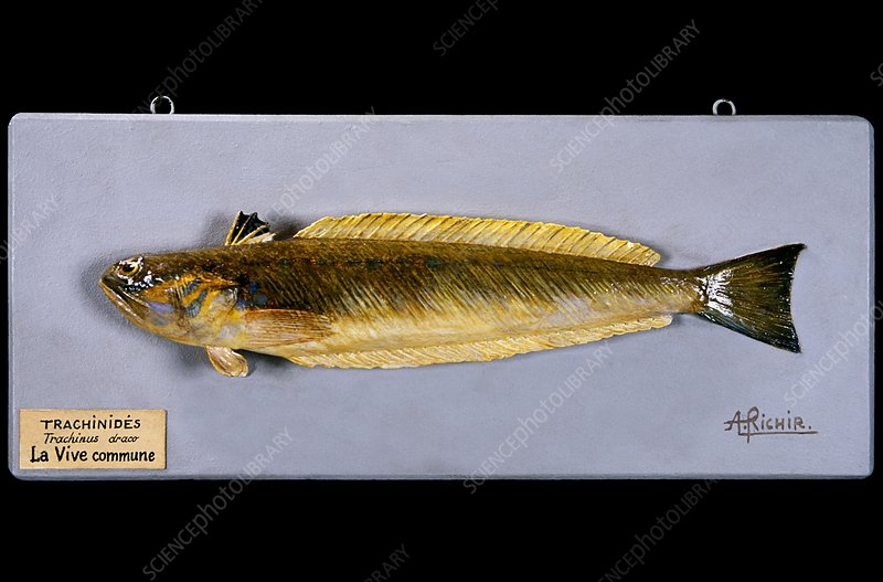 Historical model of a weever fish