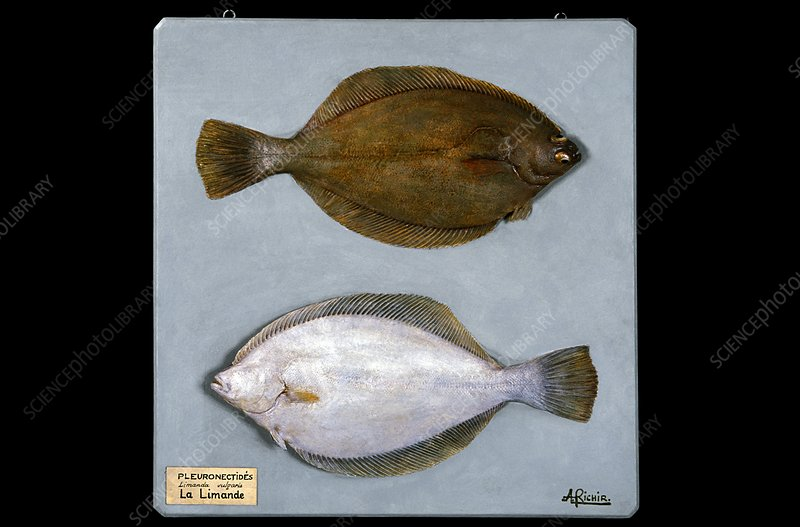 Historical model of a yellowtail flounder