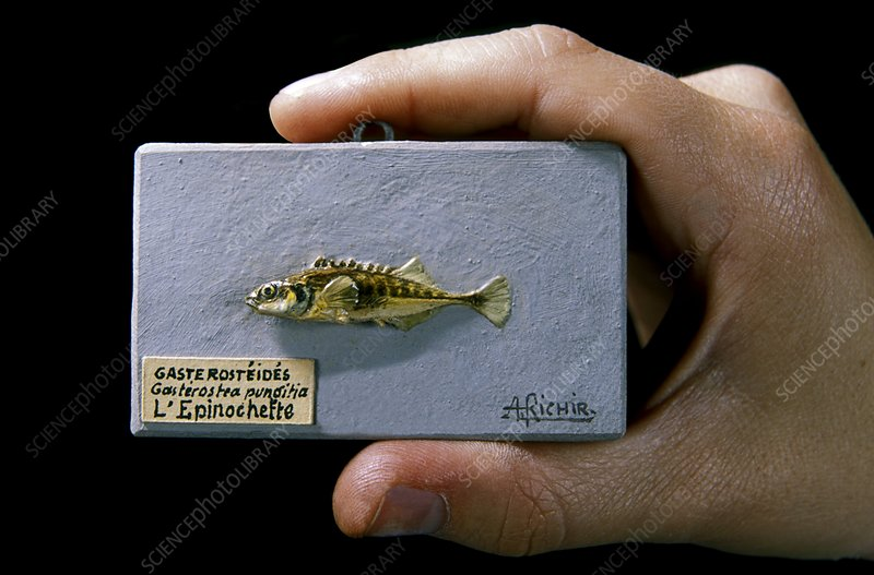 Historical model of a stickleback