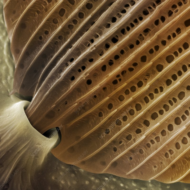 Butterfly wing scale detail, SEM