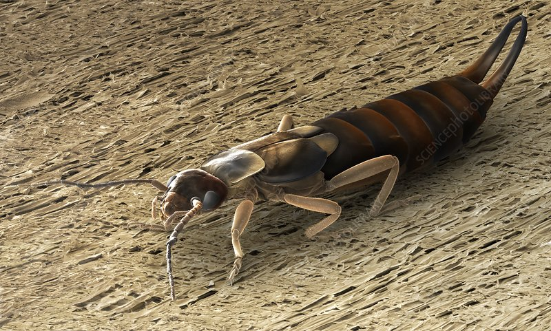 Female adult earwig, SEM