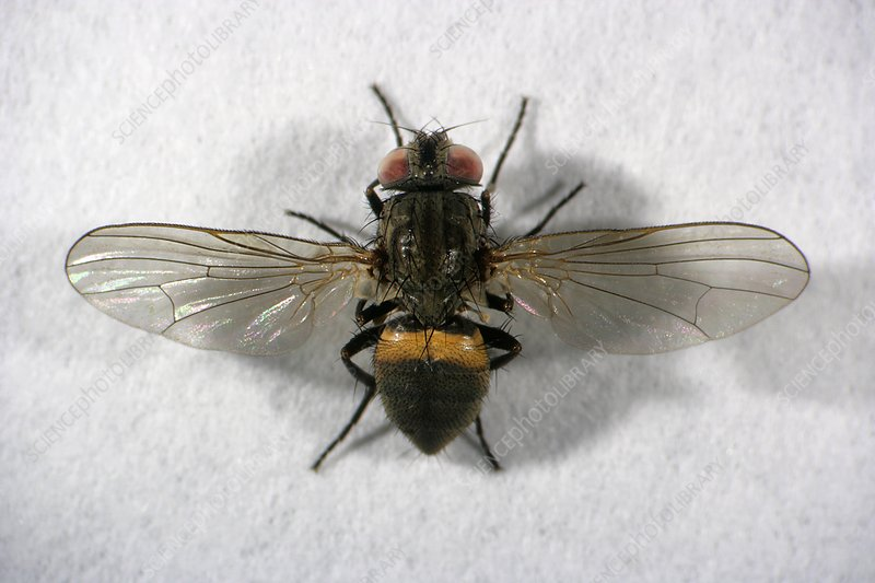 Male lesser house fly