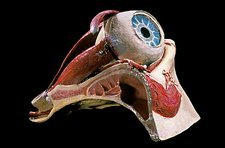 19th century anatomical model of an eye