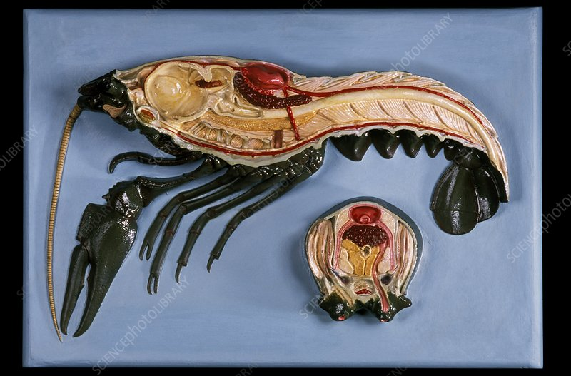 Anatomical model of a crayfish