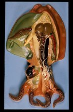 Anatomical model of a cuttlefish