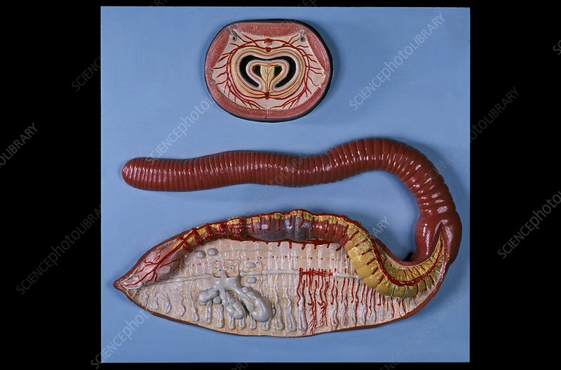 Anatomical model of an earthworm