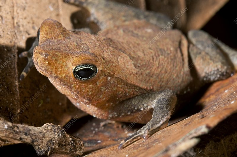 Tropical toad (Bufo castaneoticus)
