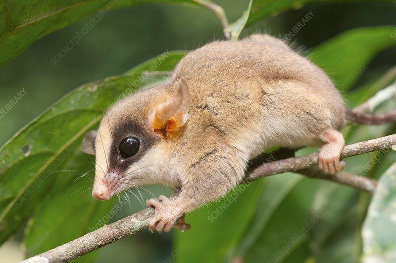 Kalinowski's Mouse Opossum