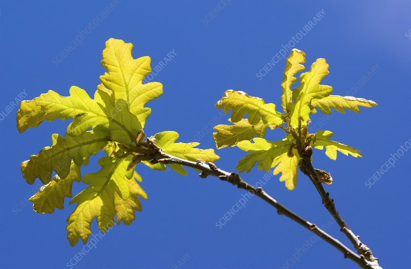 Oak (Quercus sp.)