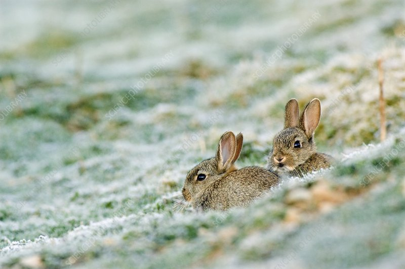 Two young Rabbits