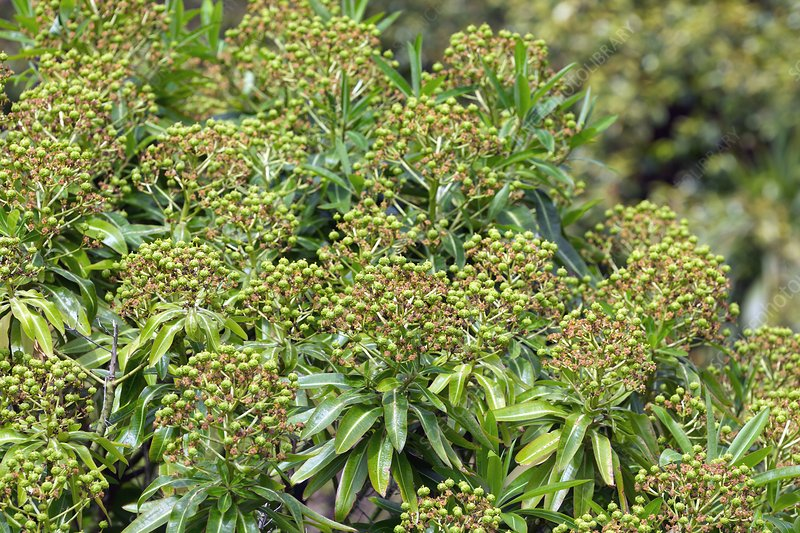 Honey Spurge (Euphorbia mellifera)