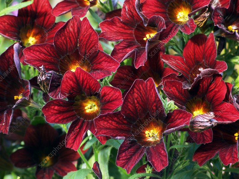 Salpiglossis 'Royale Chocolate'