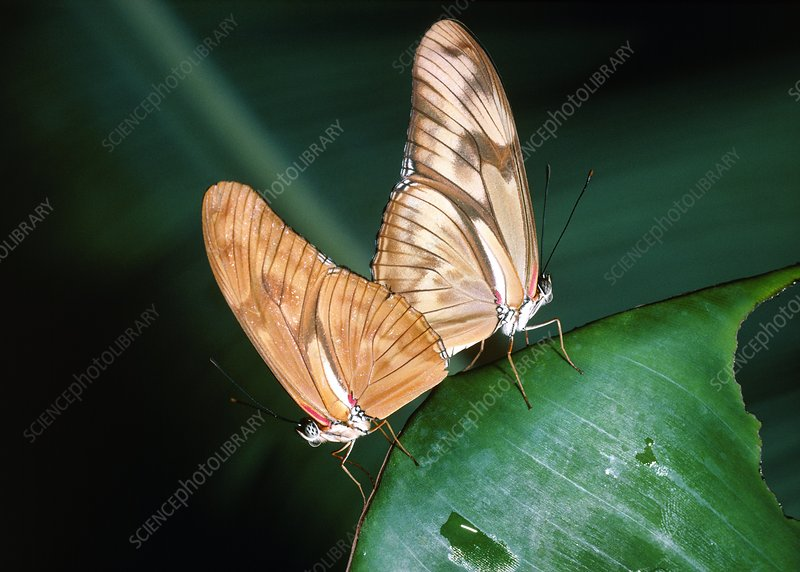 Flambeau butterflies mating