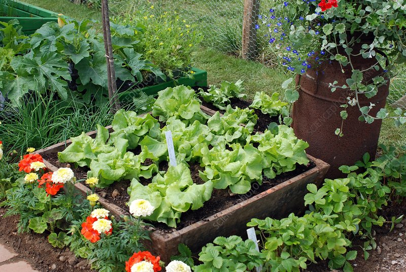 Bed of Lettuce (Lactuca 'Tom Thumb')
