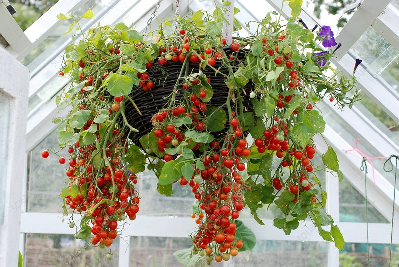 Trailing tomatoes in a hanging basket