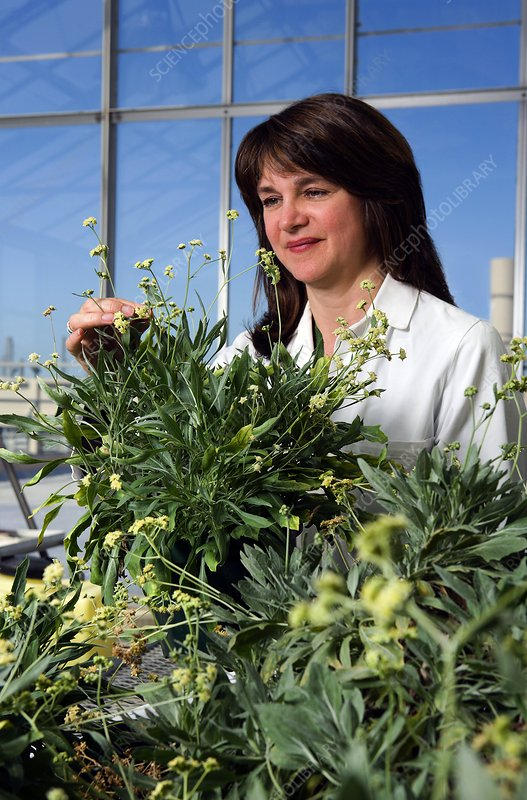 Guayule plant research