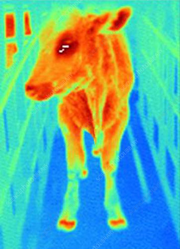 Foot-and-mouth-disease cow, thermogram