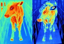 Healthy and infected cows, thermograms