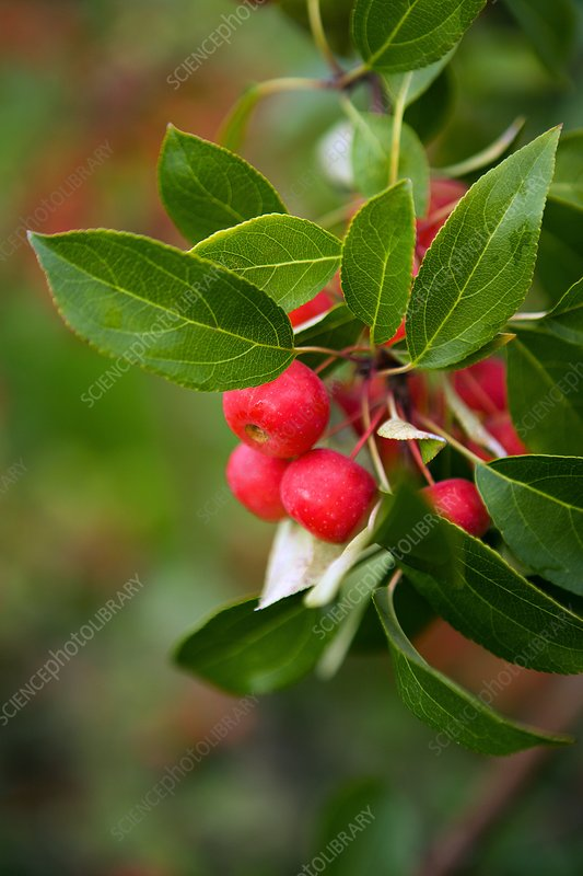 Manchurian crab apple