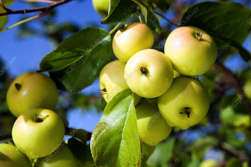 European crab apple