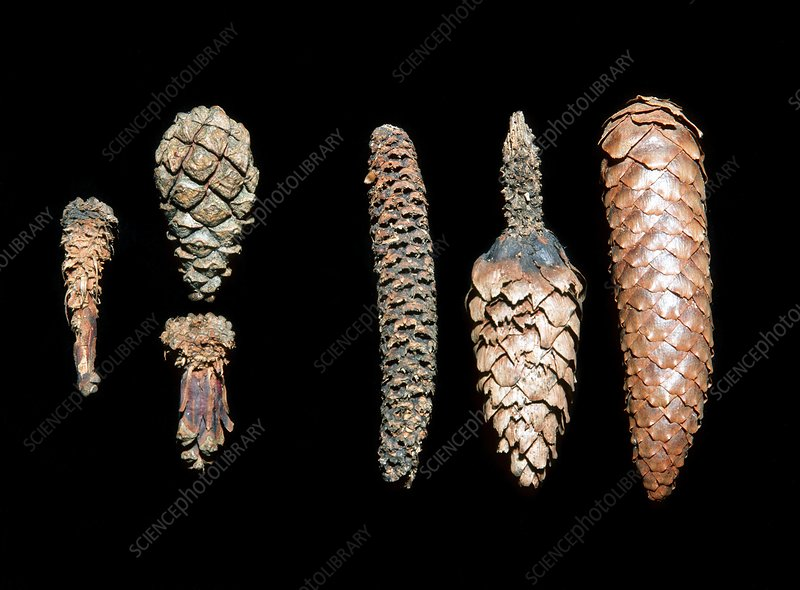 Squirrel damaged pine cones