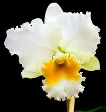 Orchid (Cattleya 'Andean Mist')