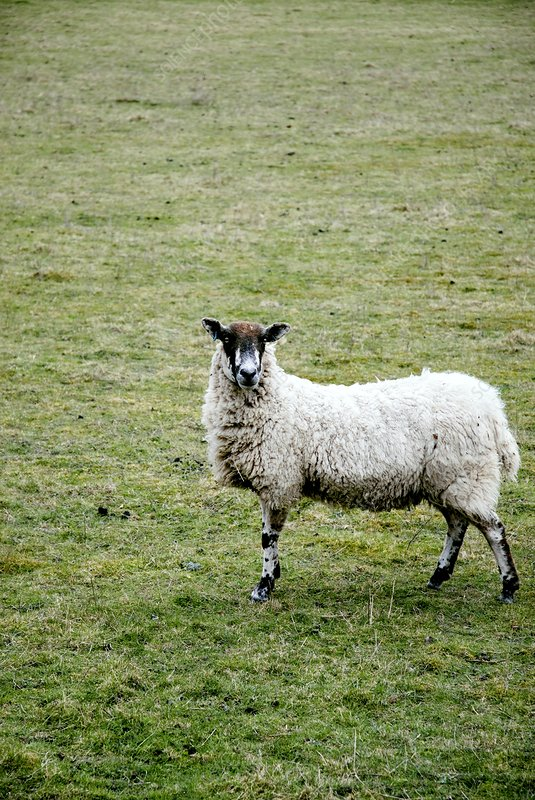 Domestic sheep in a field