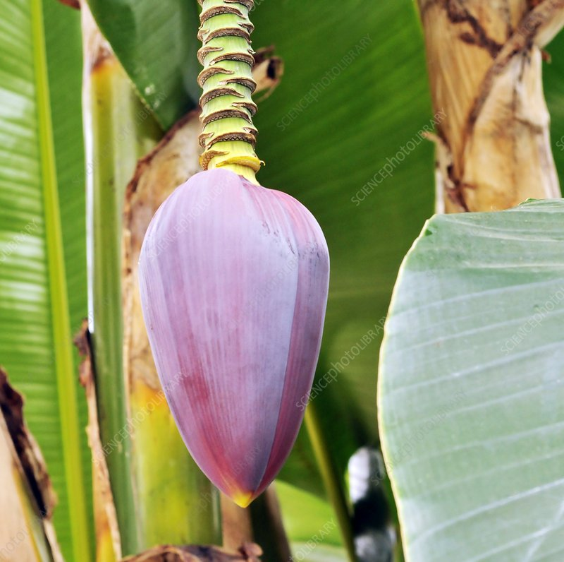 Banana (Musa sikkimensis 'Red Tiger')