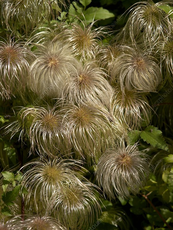 Clematis seed heads (Clematis tangutica)