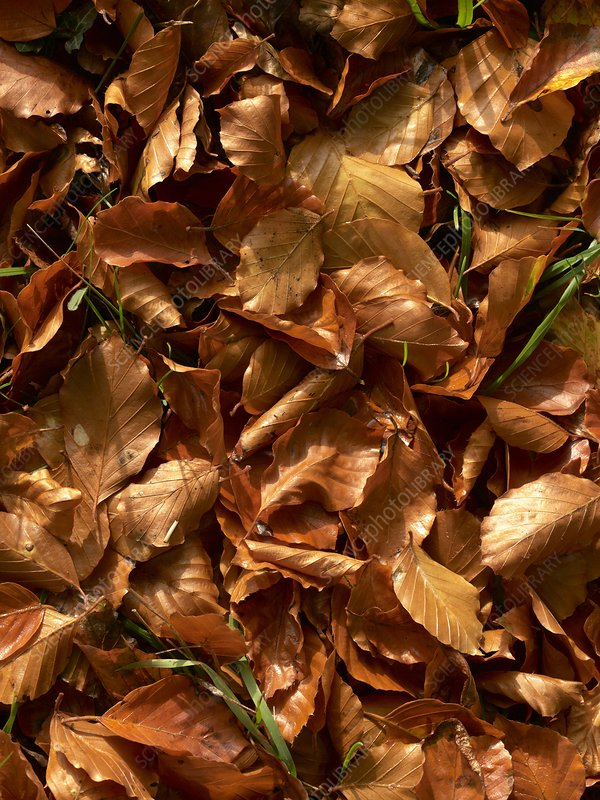 Fallen Beech leaves in autumn