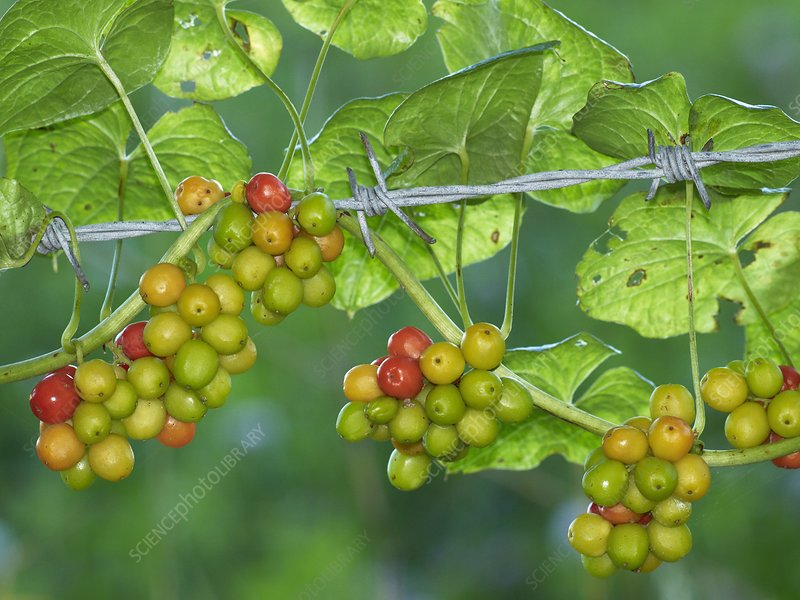 Black Bryony (Tamus communis) berries