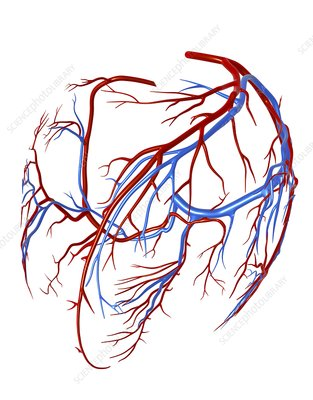 Coronary vessels of the heart