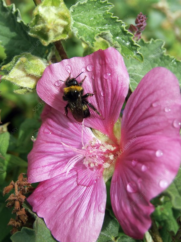 Bee on Lavatera flower