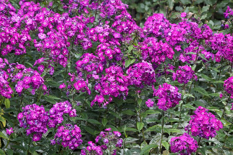 Phlox paniculata 'The King'