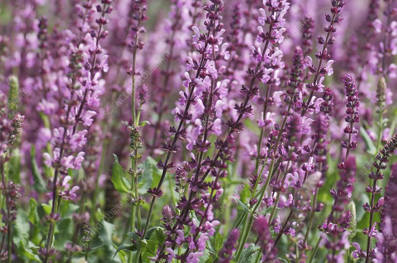 Sage (Salvia nemorosa 'Rose Queen')