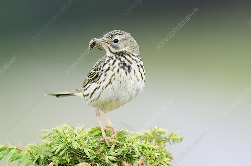 An Adult Meadow Pipit