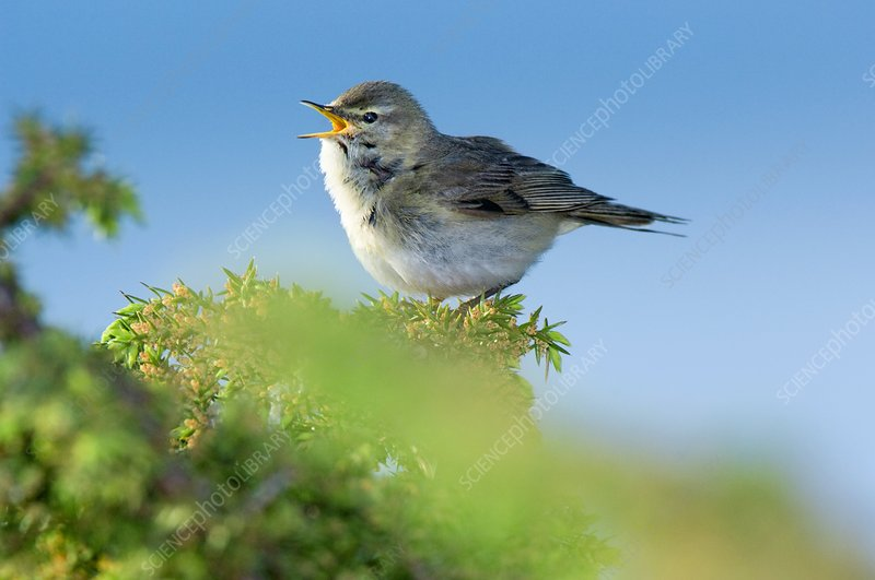 An Adult Male Willow Warbler